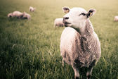 A sheep staring into the camera — Stock Photo