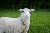 Lonely sheep looking into the camera — Stock Photo