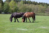 Two horses grazing — Stock Photo