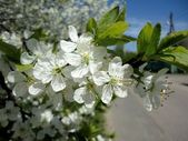 Cherry blossoms blooming in spring — Stock Photo
