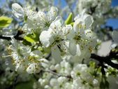Сherry blossoms blooming in spring background — Stock Photo