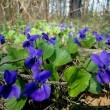 Violets flowers in the forest — Stock Photo #10423421