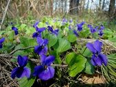 Violets flowers in the forest — Stock Photo