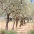 Plantation of olive trees — Stock Photo