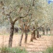 Stock Photo: Plantation of olive trees