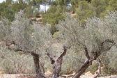 古代のオリーブの木 — ストック写真