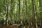Buk drzewo las — Zdjęcie stockowe
