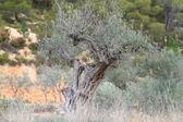 Ancient olive tree — Stock Photo