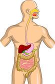 Sistema digestivo — Vetorial Stock