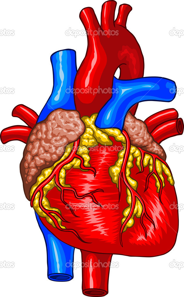 Vector illustration of Human Heart. — Stock Vector #10093905