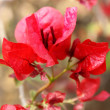 Red Flower, Lumbini - Stock Photo