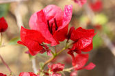 Red Flower, Lumbini — Stock Photo