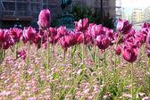 Violet Tulips in Belgrade — Stock Photo