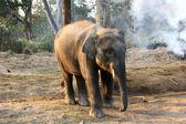Söt elefant, chitwan national park, nepal — Stockfoto