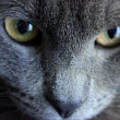 Russian Blue Cat, Close up — Stock Photo