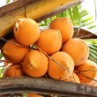 King Coconut on a palm tree - 图库照片