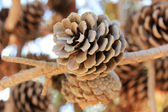 Pinecone — Stockfoto