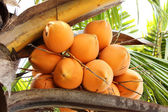 King Coconut on a palm tree — Stock Photo