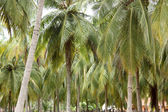 Palm trees, Kalpitiya, Sri Lanka — Stock Photo