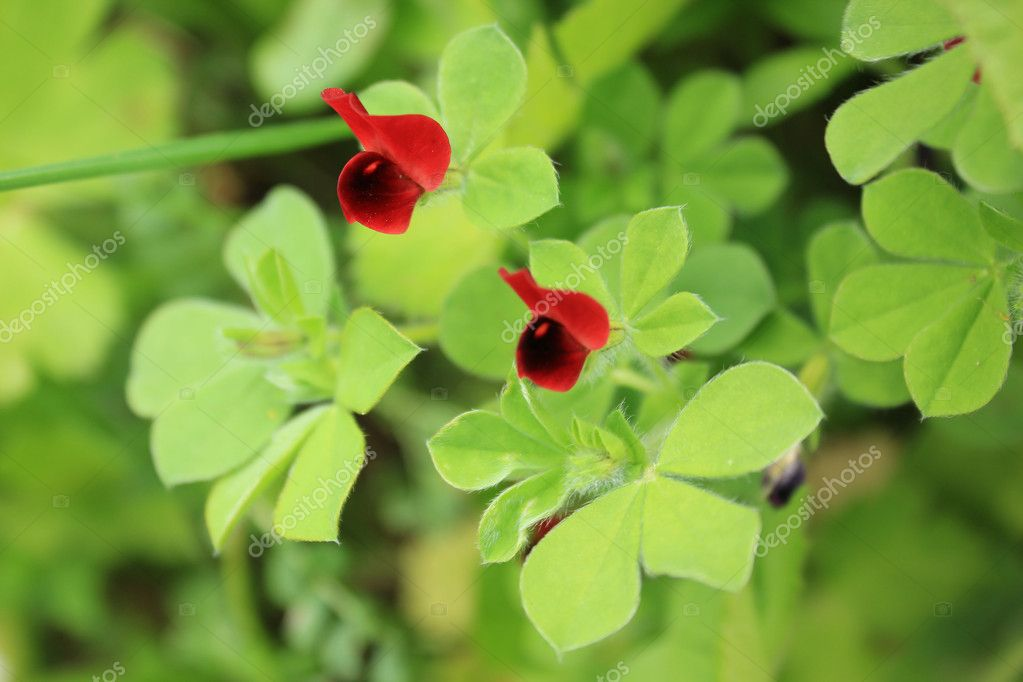 Red Clover at Zakynthos island — Stock Photo #10503782