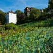 Vineyard in the outskirts of Paris — Stock Photo