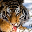 Tiger eats raw meat — Stock Photo