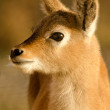 Young fallow deer — Stock Photo