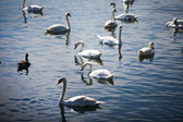 Swans, blue water — Stock Photo