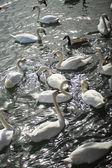 Swans, many — Stock Photo