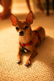 Chihuahua dog on a carpet — Stock Photo