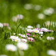 Daisies in the grass — Stock Photo