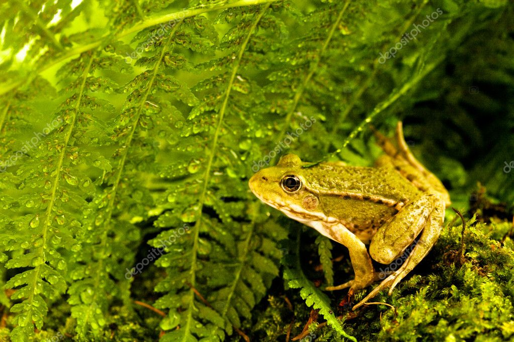 Green frog sitting on moss with ferns  Stock Photo #10224628