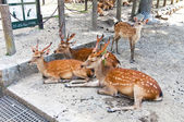 Deer in the temple of Nara, Japan — Foto de Stock