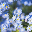 Stock Photo: Myosotis