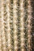 Cactus — Stock Photo