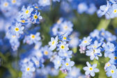 Myosotis — Stock Photo