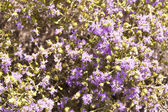 Maquis shrubland — Stock Photo