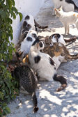 Cats on Samos — Stock Photo