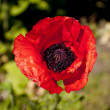 Cole up of a poppy flower — Stock Photo