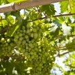 Stock Photo: Grape-vine on Samos