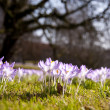Crocus bloom — Stock Photo