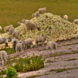 Sheep and cabbage — Stock Photo