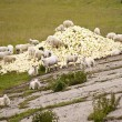 Sheep and cabbage — Stock Photo #10107842