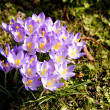 Close up of Crocus flowers in spring - Stock Photo