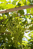 Grape-vine on Samos — Stock Photo
