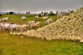 羊とキャベツ — ストック写真