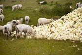 Ovelha e repolho — Foto Stock