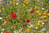 Flower meadow — Stock Photo