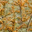 Sallow thorn — Stock Photo