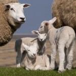 Lambs — Stock Photo #10166963